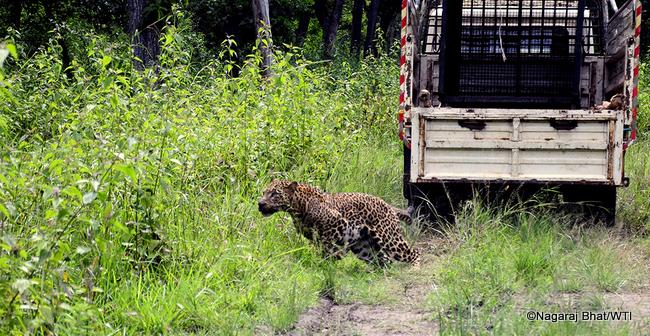 16-09-2016-mvs-bandipur-maddur-leopard-release-001