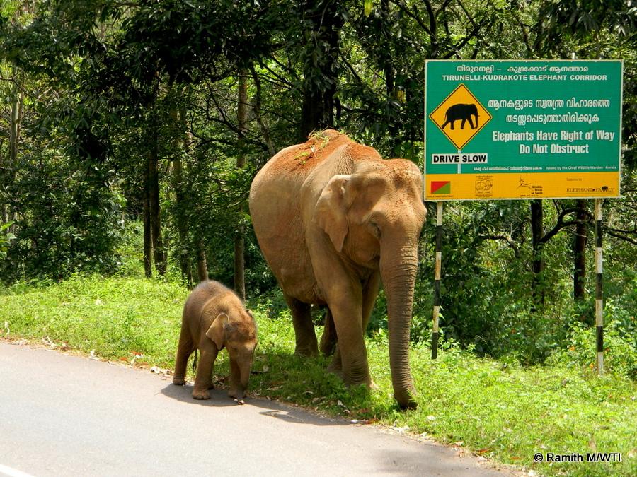 elephant-calf-at-thirunelli-kudrakote-elephant-corridor_ramithwti-001