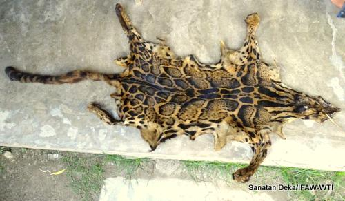 skin-of-clouded-leopard-confiscated-by-forest-staff-manas-6_5_15