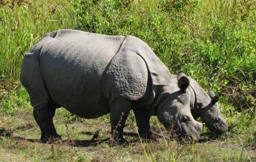 rhino_ifawblog_bhaskar