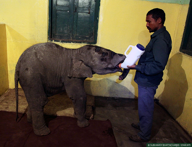 The rescued male elephant calf receives milk formula at CWRC's Large Animal Nursery