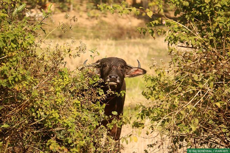 news_06022017_cwrc-wild-buffalo