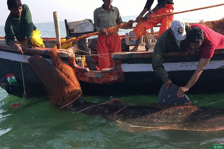 news_30122016_whale-shark_seventh-tagging