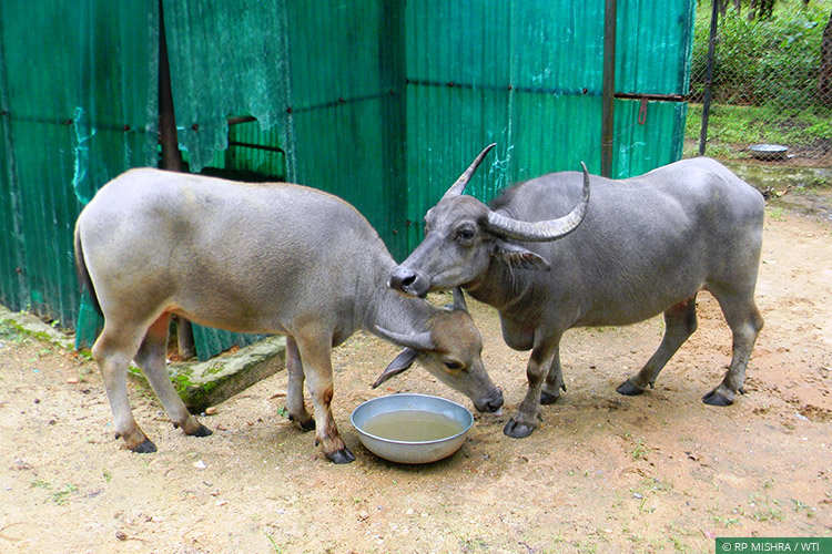 CENTRAL INDIA WILD BUFFALO RECOVERY PROJECT | Wildlife Trust